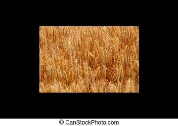 harvest wheat 2