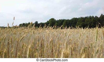 Harvest wheat field close up under wind