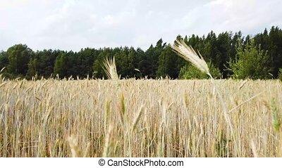 Harvest wheat field under wind