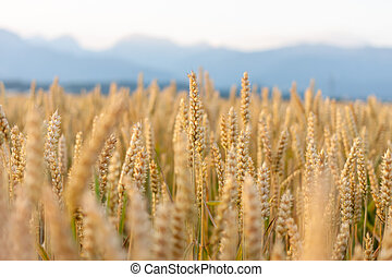 wheat yellow field against beautiful mountains background