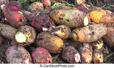 Harvested beetroot Beta vulgaris var. rapacea on pile. High...