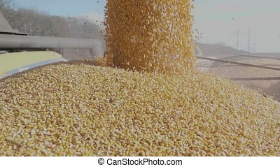 Harvested Corn unloaded falling from Combine into a truck -...