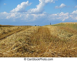Harvested cornfield under blue sky