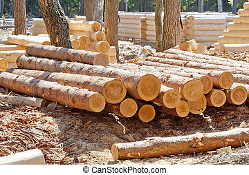 Harvested pine logs at the site of timber processing and...