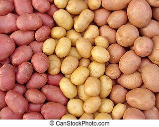 harvested potato tubers different varieties...
