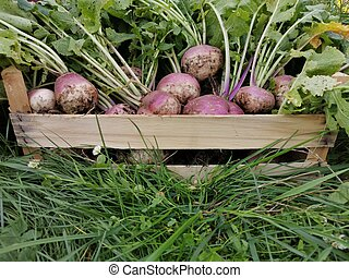 harvested radish in a wooden box on green grass