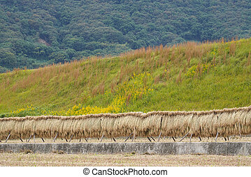 Harvested rice stalks hung to dry - Harvested rice stalks...