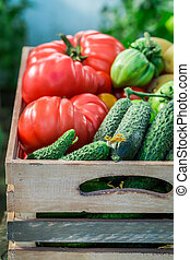 Harvested tomatoes and cucumbers in greenhouse