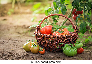 Harvested various tomatoes in old wicker basket