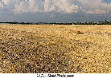 Harvested wheat field