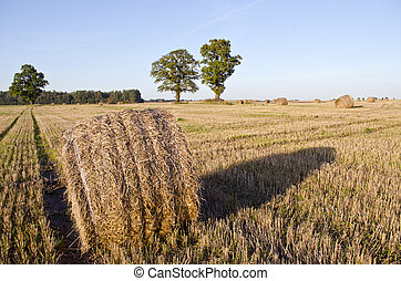 Harvested wheat field with straw rolls in autumn and oaks