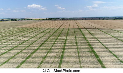 Harvester collects colza. Aerial - Harvester collects colza,...
