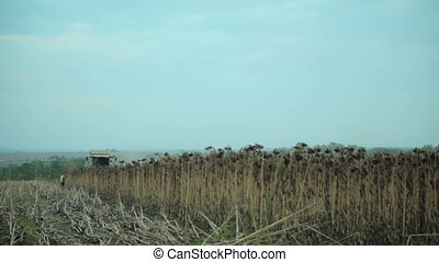 Harvester Collects Sunflowers