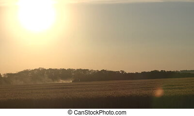 Harvester gathers wheat grain at sunset