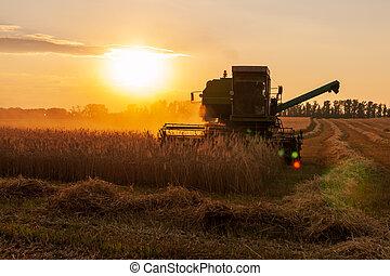 Harvester in the field. Grain harvesting.
