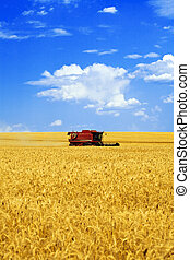 harvester in the field of gold wheat against the blue sky