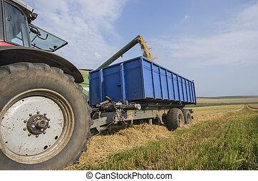 Harvester unloads wheat - Combine harvester unloads wheat...