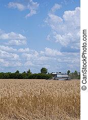 harvester working in wheat field