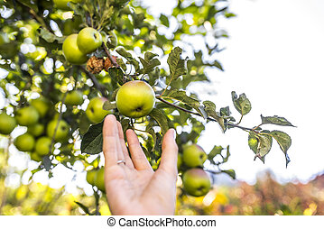 Harvesting apples - Closeup of female harvesting ripe...