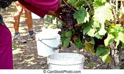 Harvesting - Autumn grape harvest