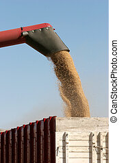 barley harvest being discharged from the combine onto a waiting truck