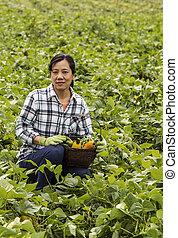 Harvesting Beans in large green bean field