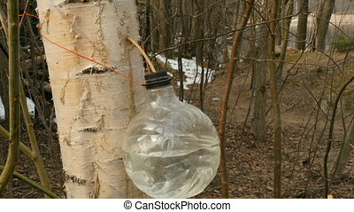 harvesting birch sap in the forest in spring