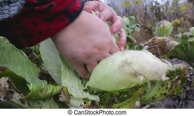 Harvesting cabbage in the garden