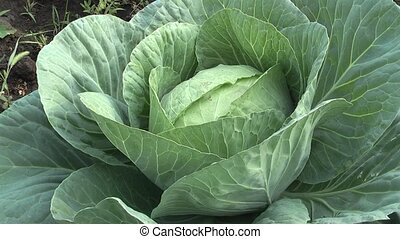 cabbage. - harvesting cabbage.