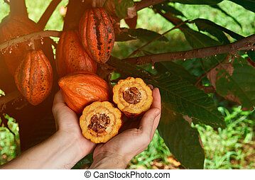 Harvesting cacao fruits