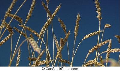 harvesting campaign 8