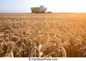 Combine harvester moving on the field of wheat with beautiful sunset in the background