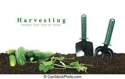 Harvesting. Cucumbers and garden tools on earth. - ...