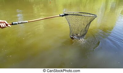 Harvesting fish pond - Harvesting carp fish from pond with...