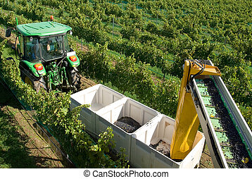 Harvesting Grapes - A tractor pulling a trailer containing...