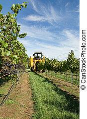 Harvesting Grapes