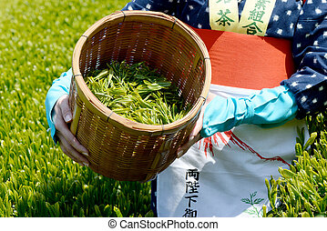 harvesting green tea leaves - Japanese woman harvesting...