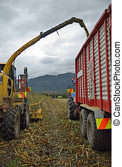 harvesting maize for silage - Farmers harvest a crop of...