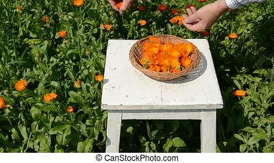 harvesting medical herbs calendula