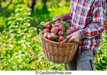 Harvesting of apples. A man working in the garden.