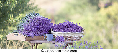 Harvesting of lavender in the basket.