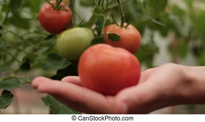 harvesting of tomatoes - harvesting of red tomatoes in...