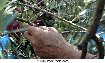 harvesting olives by hands