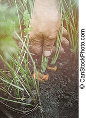 Harvesting organic carrots in the vegetable garden. Cropped female hands pull carrots from the ground. The concept of natural food from his garden.