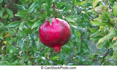 Pomegranate close up. Agriculture, harvest.