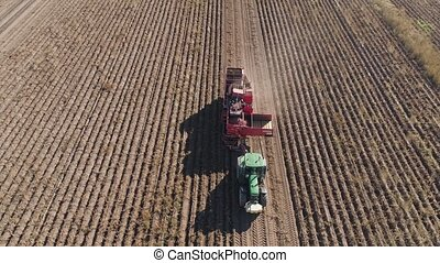 Harvesting potatoes in field - aerial potatoes harvesting...