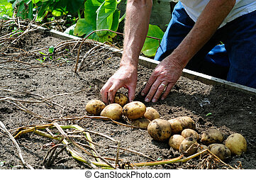 Harvesting Potatoes - Male Gardener Harvesting New Potatoes...