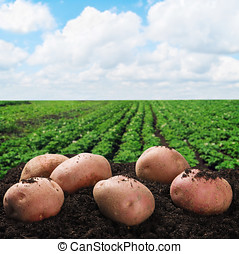 harvesting potatoes on the ground