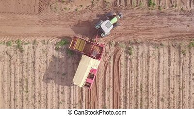 Farm machinery harvesting potatoes. Potatoes harvesting with tractor in large field.