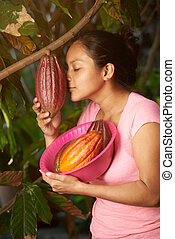 Harvesting ready to collect cacao pods